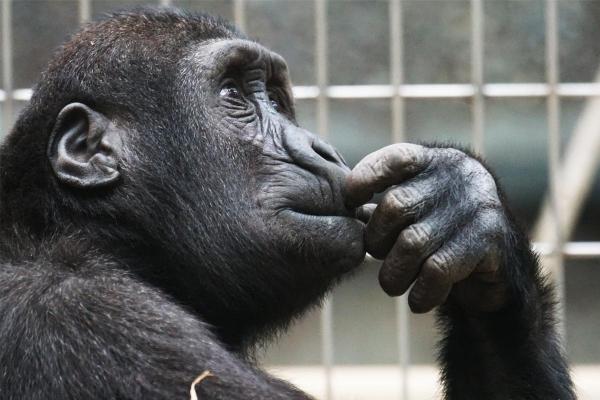 creaționism vs. evoluționism maimuta monkey